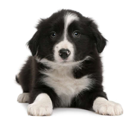 weeks: Border Collie puppy, 6 weeks old, lying in front of white background