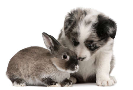 weeks: Blue Merle Border Collie puppy, 6 weeks old, and a rabbit in front of white background