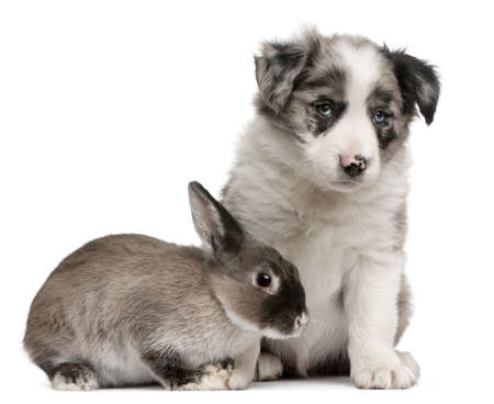 Blue Merle Border Collie puppy, 6 weeks old, and a rabbit in front of white background photo