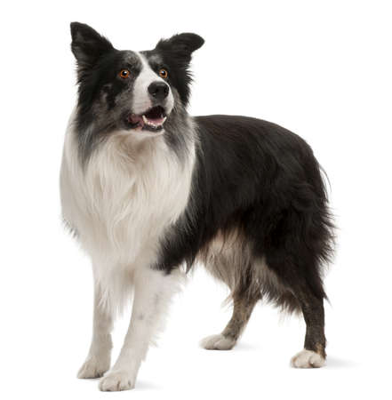 attentive: Border Collie standing in front of white background
