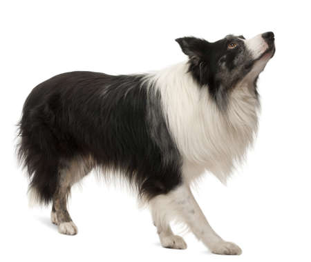 Border Collie standing in front of white background photo