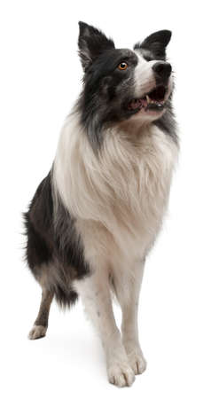 front teeth: Border Collie standing in front of white background