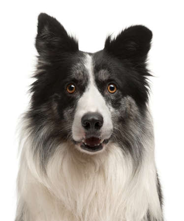 Close-up of Border Collie in front of white background photo