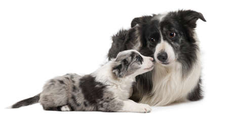collies: Border Collies interacting in front of white background Stock Photo