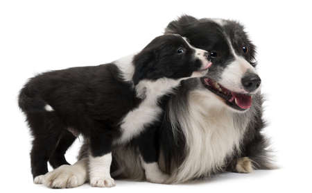 border collie puppy: Border Collies interacting in front of white background Stock Photo