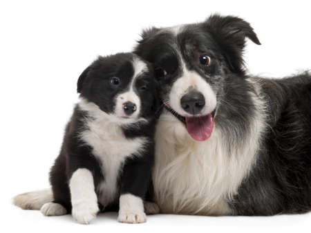 Border Collies interacting in front of white background photo