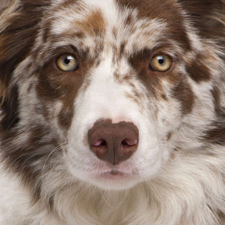 no face: Close-up of Red Merle Border Collie, 6 months old