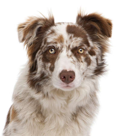 Close-up of Red Merle Border Collie, 6 months old, in front of white background photo