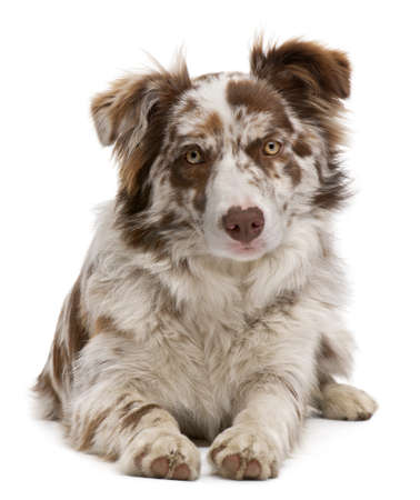 Red Merle Border Collie, 6 months old, lying in front of white background photo
