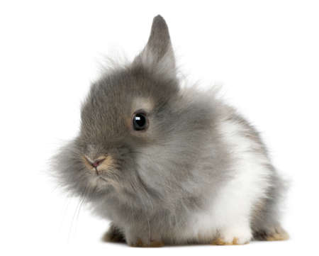 lionhead: Young Lionhead rabbit, 2 months old, in front of white background Stock Photo