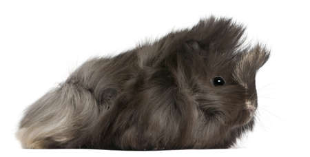 Young Peruvian guinea pig, 2 months old, in front of white background photo