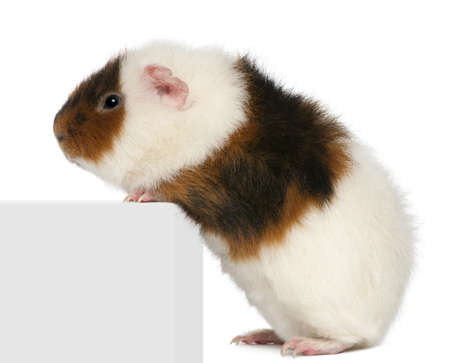 Teddy guinea pig, 9 months old, climbing on box in front of white background photo