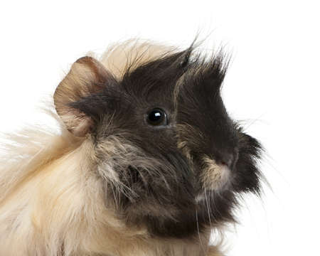Young Peruvian guinea pig, 6 months old, in front of white background photo