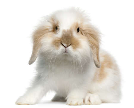 Lop rabbit, 6 months old, in front of white background photo