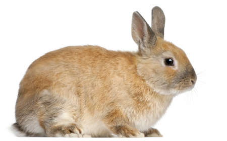 Dwarf rabbit, 6 months old, in front of white background