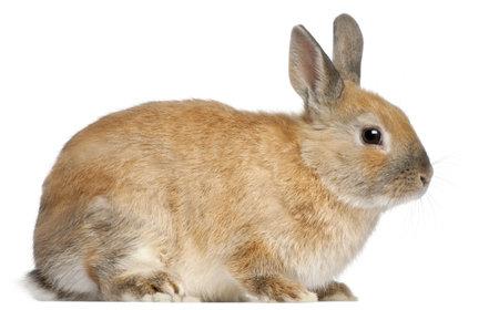 young rabbit: Lapin nain, 6 mois, en face de fond blanc