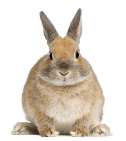 Dwarf rabbit, 6 months old, in front of white background photo