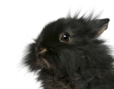 lionhead: Close-up of young Lionhead rabbit, 2 months old, in front of white background Stock Photo