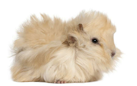 guinea pig: Young Peruvian guinea pig, 2 months old, in front of white background Stock Photo
