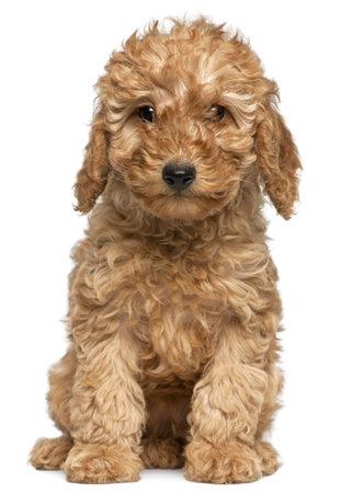 Poodle cachorro, 2 meses de edad, sentado en frente de fondo blanco