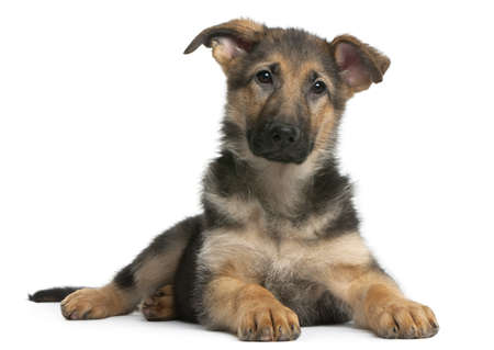 German Shepherd puppy, 4 months old, lying in front of white background Stock Photo - 8972648
