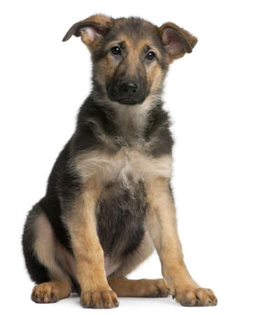 German Shepherd puppy, 4 months old, sitting in front of white background Stock Photo - 8972473