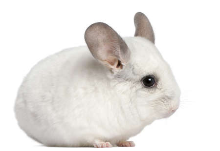 chinchilla: Wilson Chinchilla, 12 months old, in front of white background