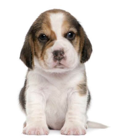 beagle puppy: Beagle Puppy, 1 month old, sitting in front of white background