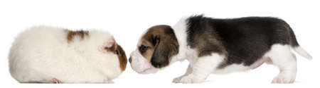 9 months old: Beagle Puppy, 1 month old, and Teddy guinea pig, 9 months old, in front of white background