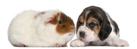 9 months old: Beagle Puppy, 1 mes y Teddy conejillo de Indias, 9 meses de edad, de fondo blanco Foto de archivo