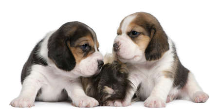 Two Beagle Puppies, 1 month old, and Peruvian guinea pig, 6 months old, in front of white background photo