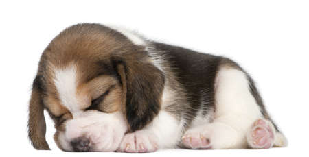 Beagle Puppy, 1 month old, lying in front of white background photo