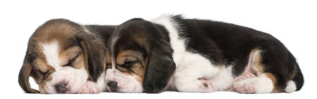 Two Beagle Puppies, 1 month old, lying in front of white background photo