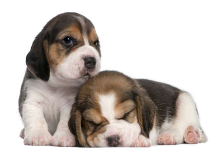 beagle puppy: Two Beagle Puppies, 1 month old, in front of white background Stock Photo