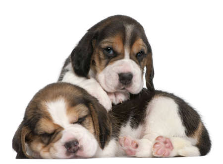 Two Beagle Puppies, 1 month old, in front of white background photo