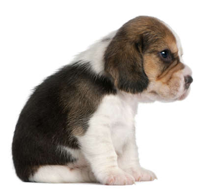 pups: Beagle Puppy, 1 month old, sitting in front of white background