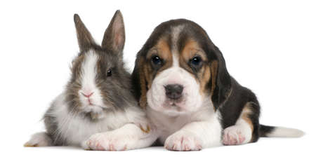 Beagle Puppy, 1 month old, and a rabbit in front of white background Stock Photo - 8972438