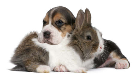 beagle puppy: Beagle Puppy, 1 month old, and a rabbit in front of white background