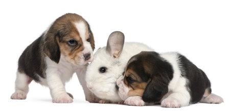 12 month old: Due cuccioli di Beagle, 1 mese di et� e un Wilson Chinchilla, 12 mesi di et�, di fronte a sfondo bianco