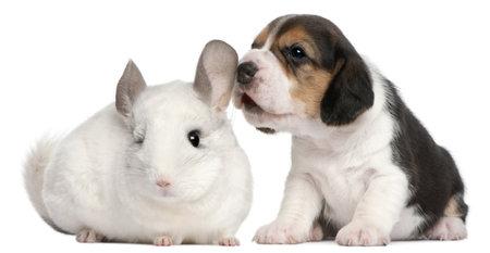 12 month old: Cucciolo di Beagle, 1 mese di et� e un Wilson Chinchilla, 12 mesi di et�, di fronte a sfondo bianco Archivio Fotografico