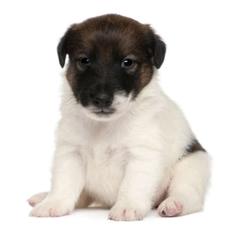 Fox terrier puppy, 1 month old, sitting in front of white background photo