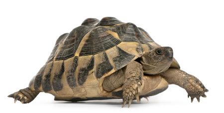 Hermanns tortoise, Testudo hermanni, walking in front of white background photo