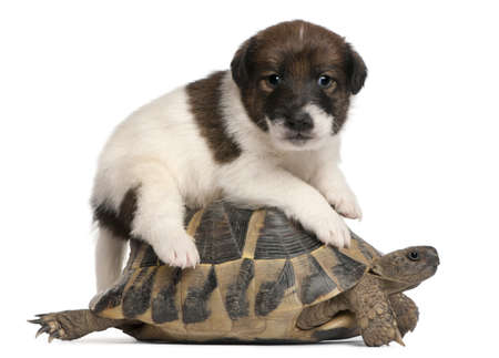 Fox terrier puppy, 1 month old, and Hermanns tortoise, Testudo hermanni, in front of white background photo