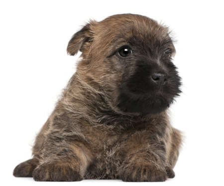 cairn: Cairn Terrier Puppy, 6 weeks old, in front of white background