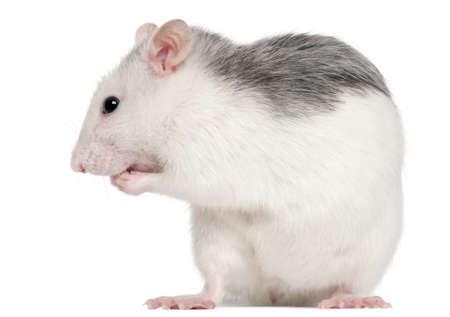 Husky rat, 12 months old, in front of white background Stock Photo - 8972070