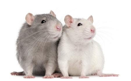 rata: Dos ratas, 12 meses de edad, de fondo blanco
