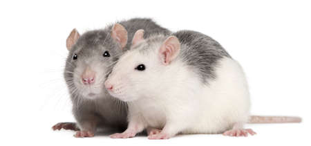 Two rats, 12 months old, in front of white background Stock Photo - 8972407