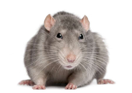 rat: Blue rat in front of white background Stock Photo