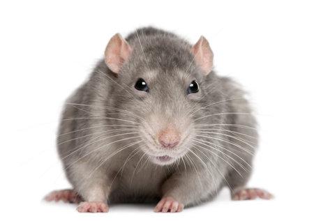 rats: Ratto blu di fronte a sfondo bianco