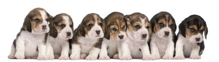 beagle puppy: Group of Beagle puppies, 4 weeks old, sitting in a row in front of white background Stock Photo